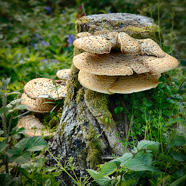 Mushroom Gigantica by Adriaan Oosthuizen - Nature Up Close Mushrooms & Fungi ( mushroom, rampix photography, forest, shenley forest,  )