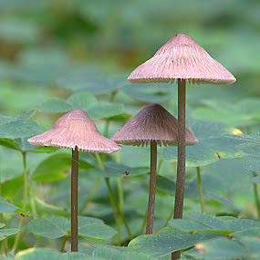 Trio of Mushrooms Amongst Wood Sorrel by Alex Graeme - Nature Up Close Mushrooms & Fungi ( mushrooms )