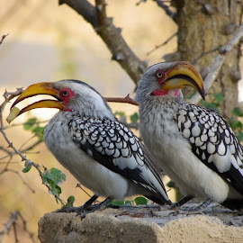 Hornbill offering by Alison Fitzgerald - Animals Birds ( large birds, hornbill, yellow billed hornbill, african birds, birds )
