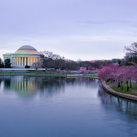 Cherry Blossom DC by Jack Nevitt - City,  Street & Park  Historic Districts ( cherry, reflection, dawn, tree, jefferson memorial, washington dc, pink, morning, spring, blossoms )