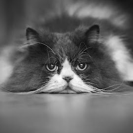 Piero by Luca Foscili - Black & White Animals ( cat, persian, furry, indoors, cute, bokeh, portrait, eyes, floor, gorgeous, pet, tired, whiskers, fur, hot, ears, summer, laying, lazy, nose, animal )