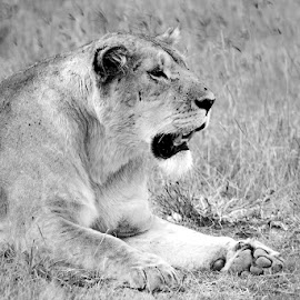 Lion at rest by Pravine Chester - Black & White Animals ( monochrome, black and white, animals, lion, wildlife )