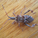 Western conifer-seed bug