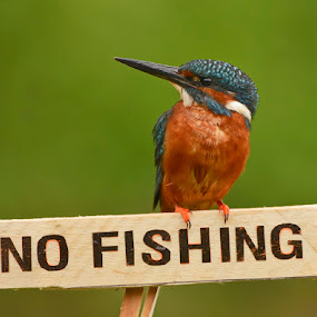 No Fishing ! by Keith Bannister - Animals Birds ( nature, wildlife, birds, kingfishers, britain )