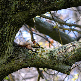 Squirrel In Tree by Tricia Scott - Animals Other ( sky, nature, park, tree, moss, rodent, leaves, squirrel, animal )