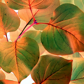 Red Bud Leaves - IA by Tina Dare - Nature Up Close Leaves & Grasses ( orange, macro, close up, green, leaves, nature, redbud, up close, ia, peach, hearts )