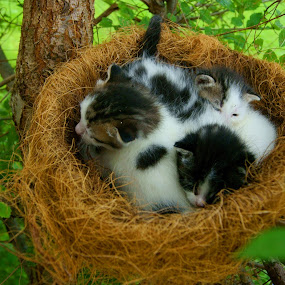 They weren't born, they were hatched! by Sondra Sarra - Animals - Cats Portraits ( babies, cat, tree, black. white, green, nest, three, branch, kittens, baby, hatched, leaves,  )