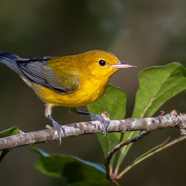 Prothonotary Warbler by Shutter Bay Photography - Animals Birds ( prothonotary warbler, nature, bird photography, birds, warbler,  )