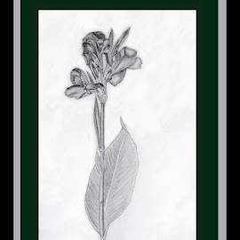 Canna by Ingrid Anderson-Riley - Drawing All Drawing