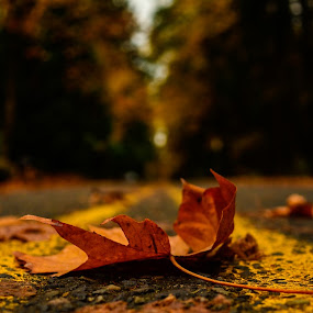 Fall-en(route) by Shadman Samin - Nature Up Close Leaves & Grasses ( fall leaves on ground, fall leaves, autumn, fall, leaf, road )