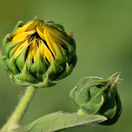 by Steven Aicinena - Flowers Flower Buds