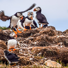 Puffin Play by Rita Taylor - Animals Birds ( nest, play, birds, puffin,  )