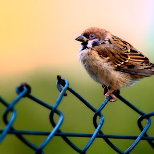 Dec 1 Eurasian tree sparrow.jpg