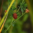 Striped-Bug
