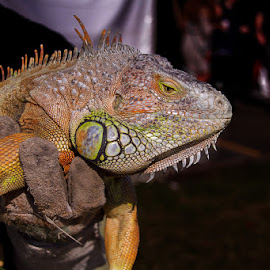 by Nobby Clarke - Animals Reptiles ( park, zululand_trade_fair_2016 )