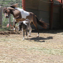 FEELING FRISKY by Colette Griffin - Animals Horses ( mares, foal, fillies, new born foals, horses )
