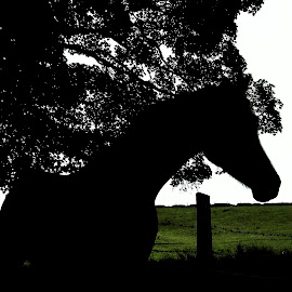 silhouette of horse by Judy Jones - Animals Horses ( tree, nature, shadow, silhouette, horse )
