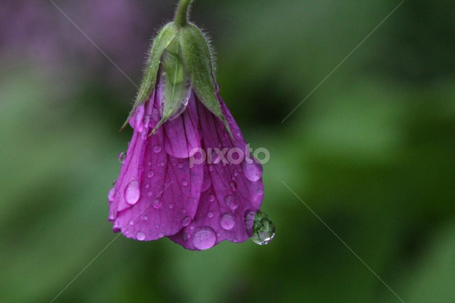 After the Rain by Michael Schwartz - Flowers Single Flower (  )
