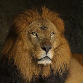 Look at my eyes..... by Bernard Tjandra - Animals Lions, Tigers & Big Cats