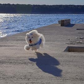 by Adriana Kastelan - Animals - Dogs Running