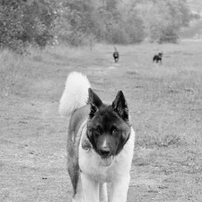 by Beth Alexander - Animals - Dogs Puppies ( bear, akita, puppies, pup, puppy )