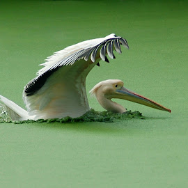 by Barun kumar Sinha - Animals Birds