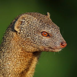 Profile of a Dwarf Mongoose by Anthony Goldman - Animals Other Mammals ( okavango delta, dwarf, wild, mongoose, africa, mammal, profile )