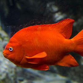 Red Glow by Pravine Chester - Animals Fish ( water, nature, underwater, fish, animal )