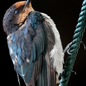 Pacific swallow awaiting insects by Francois Wolfaardt - Animals Birds ( bird, nature, swallow, feathers, close-up )