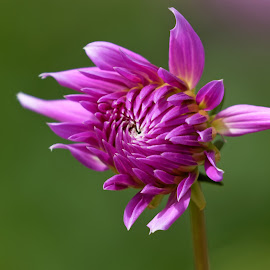 Precious Purple by Raphael RaCcoon - Flowers Single Flower ( purple, color, dahlia, flower, purple flower )