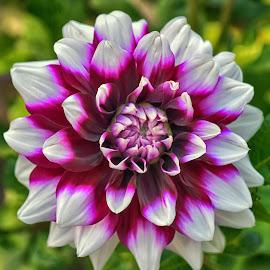 by Marco Bertamé - Flowers Single Flower ( purple, blooming, petals, green, white, summer, bloom, dahlia,  )
