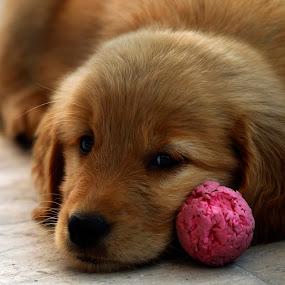 AFter play by Cristobal Garciaferro Rubio - Animals - Dogs Puppies ( puppies, pwcpuppies-dq, puppy, golden, golden retriever )