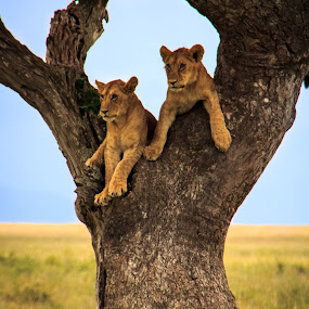 Ndugu (siblings) by Tom Howes - Animals Lions, Tigers & Big Cats ( lions, tanzania )