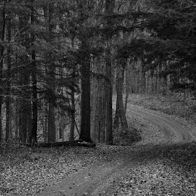 Country Road by Kristina Weber - Landscapes Forests ( autumn, fall, pwcbwlandscapes, pine trees, road, leaves, country )