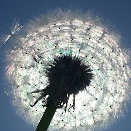Crystal Dandelion :) by Linda Hackney - Nature Up Close Gardens & Produce