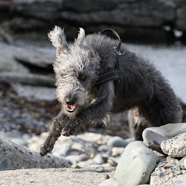 Among the sea rocks. by Tp Mac Curtain - Animals - Dogs Playing ( runnung dog, wolfhound, bray, irish, walter )