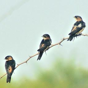 Red rumped swallows by Govindarajan Raghavan - Animals Birds (  )