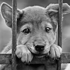 Gaze of a puppy by Kriswanto Ginting's - Black & White Animals ( fence, black and white, indonesia, gaze, puppy, nikon )