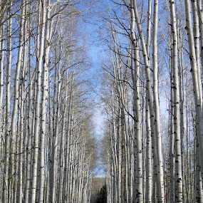 Aspen alley by Ron Harper - Landscapes Forests ( wy )