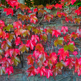 Red Leaf Wall by Richard Duerksen - Nature Up Close Leaves & Grasses ( brick wall, vines, palmerston north, leaves, new zealand )
