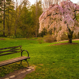 Take a Seat and Relax by Judi Kubes - City,  Street & Park  City Parks ( peaceful, park, bench, cherrytree, grass, green, blossoms, parkseattle, tranquil, seattle, serene, sunset, trees, pink, arboretum, flowers, renewal, forests, nature, natural, scenic, relaxing, meditation, the mood factory, mood, emotions, jade, revive, inspirational, earthly )