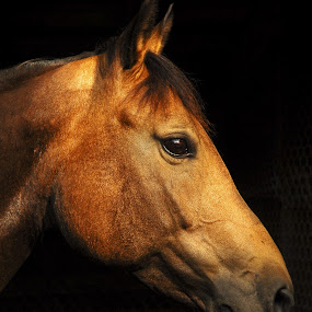 EPPIE by Steve Cooper - Animals Horses ( mare, horse, brown, light, stable )