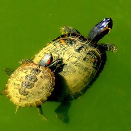 by Ana Paula Filipe - Animals Reptiles ( green, lak, mummy, son )