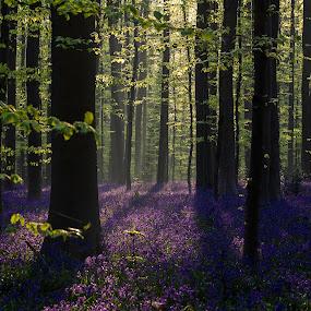 Sunrise Hallerbos by Henk Smit - Landscapes Forests ( hallerbos#belgium#sunrise#forrest#spring,  )