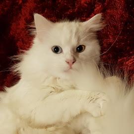 Zelda  by Kerrie Bosson - Animals - Cats Portraits ( white cat, turkish angora, fluffy white, heterochromia, fluffy,  )