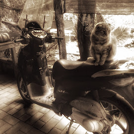Cat On A Bike by Susan McDavit - Animals - Cats Portraits ( farm, animals, cat, motorcycle, transportation, italy )