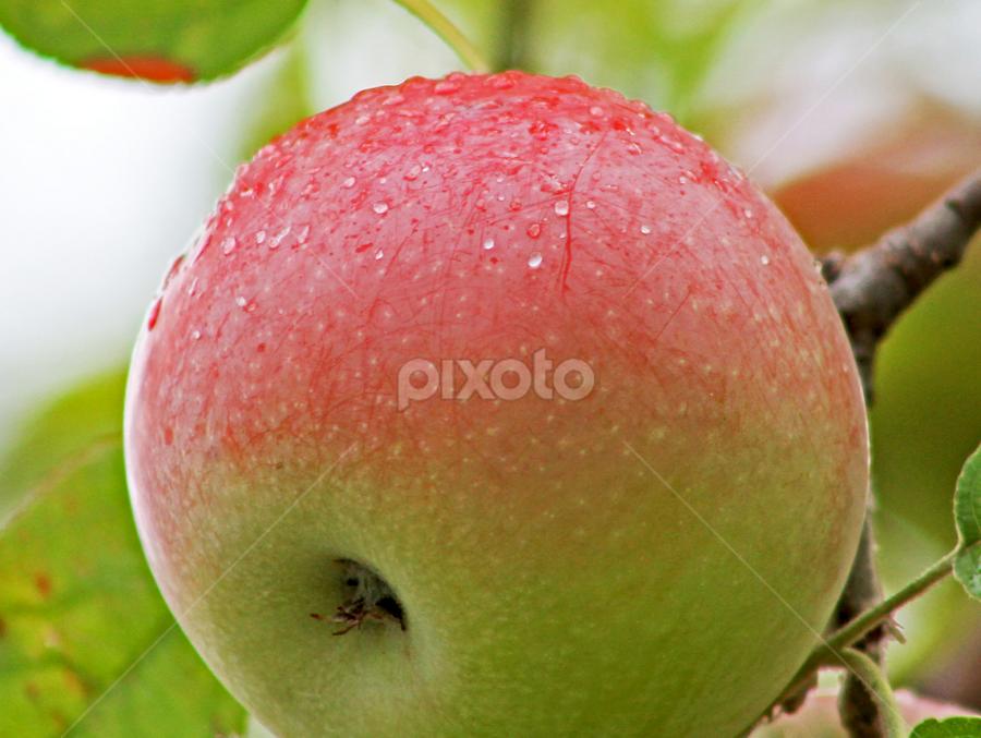 Apple by Steve O'Donnell - Food & Drink Fruits & Vegetables ( water, apple tree, fruit, tree, apple, fall, drops, rain )