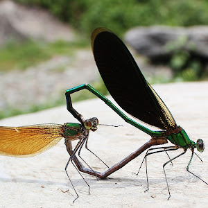 damselflies mating.jpg