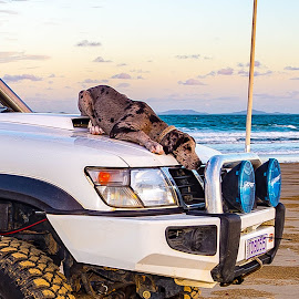 New Hood Ornament  by Sarah Sullivan - Novices Only Pets