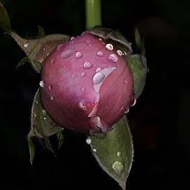 eine Rosenknospe by Mladen Steel Vrđuka - Flowers Single Flower ( rosenknospe, roses )